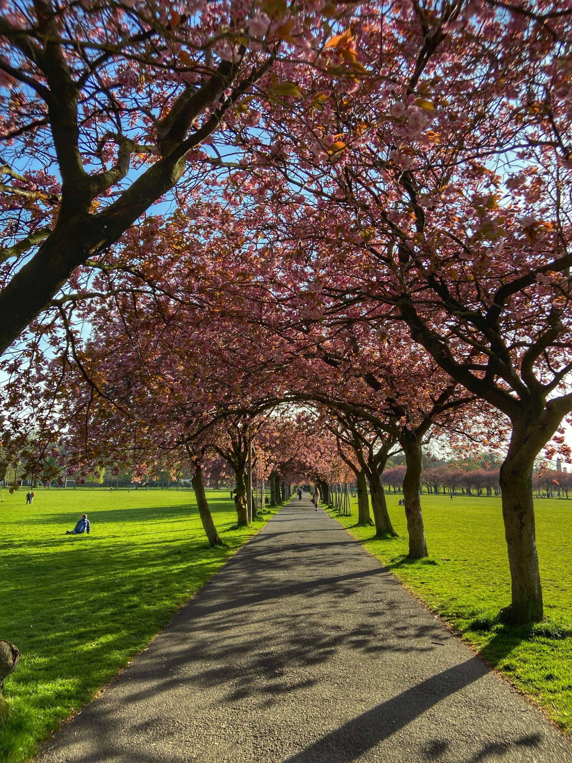 Avenue of cherry blossom in The Meadows 2020