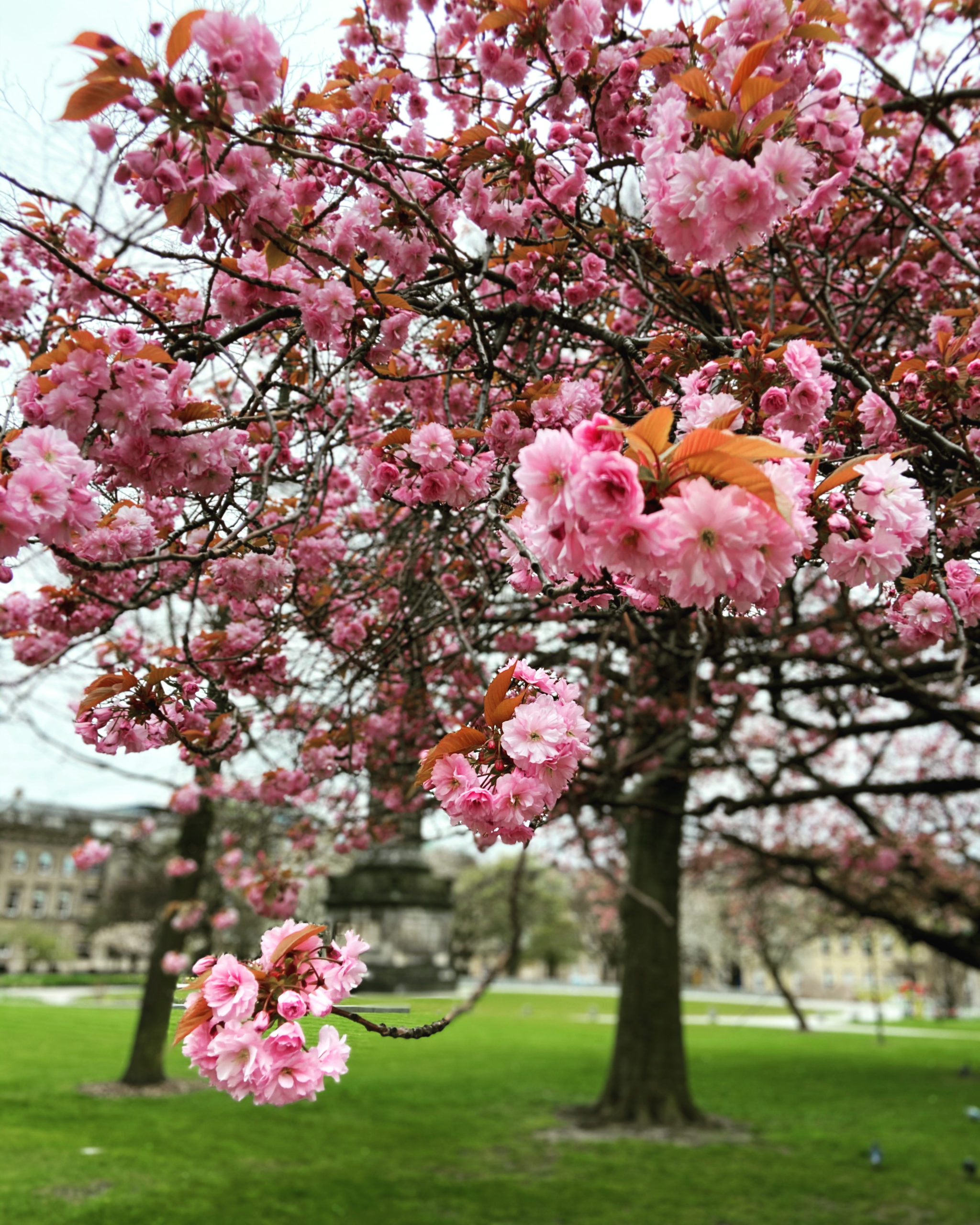 St Andrew Square cherry blossom