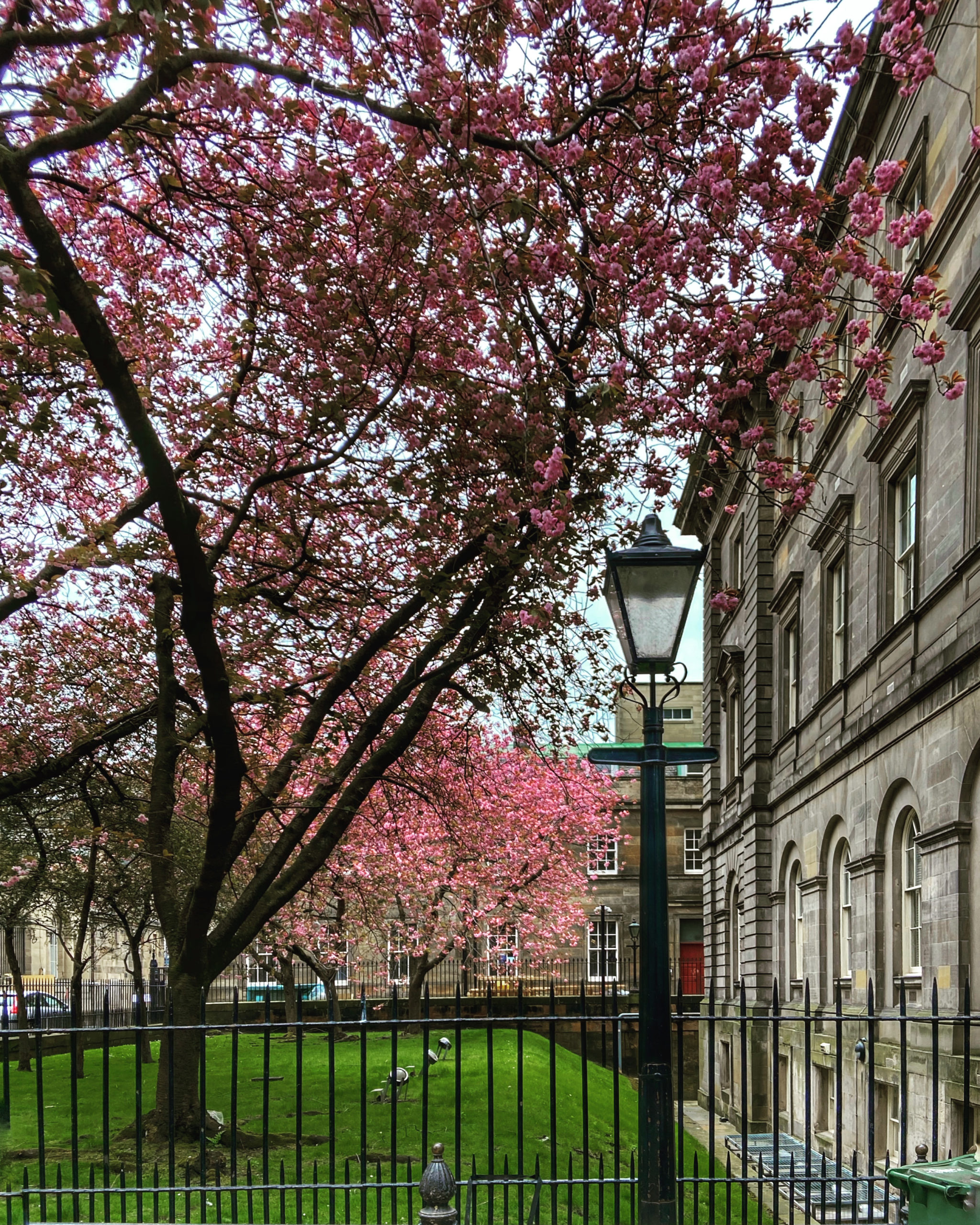 Cherry blossom opposite The Cafe Royal